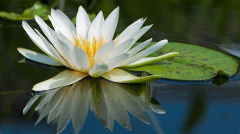 full hd wallpaper lotus petal lake water reflection