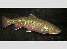 Salvelinus fontinalis coaster brook trout 2 Salvelinus