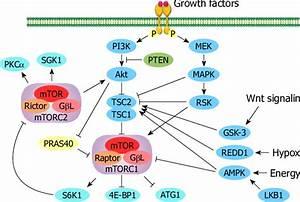 Key Regulators Of The Mammalian Target Of Rapamycin