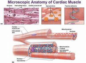 Metabolism. Cardiac muscle depends on aerobic respiration ...