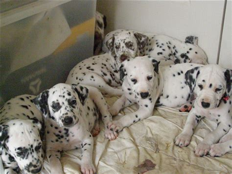 30 days dalmatian puppies for 30 reasons you need a dalmatian in your right now