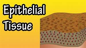 Epithelial Tissue - What Is Epithelial Tissue - Functions Of Epithelial Tissue