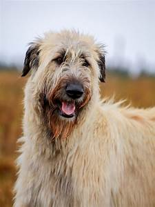 Comparison Between the Scottish Deerhound and Irish ...