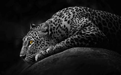 Jaguar Wallpaper Animal - black jaguar wallpapers wallpaper cave