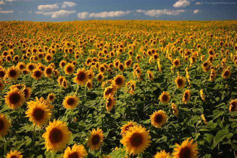 vast field  sunflowers