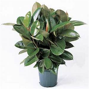 Rubber Plant | May's Floral