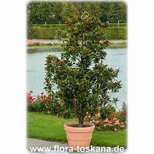 Immergrüne Pflanzen Winterhart Kübel : magnolia grandiflora immergr ne magnolie gro bl tige ~ Lizthompson.info Haus und Dekorationen