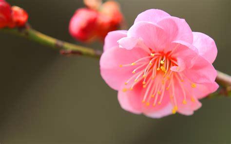 japanese apricot hd desktop wallpapers  hd