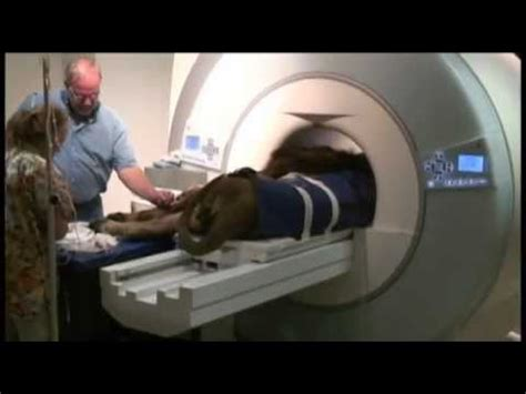 lion visits msu veterinary teaching hospital  mri youtube