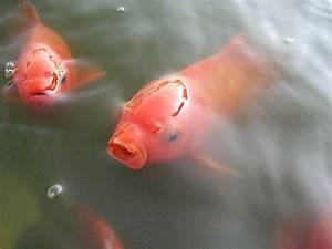 Goldfisch Haltung Im Teich : goldfisch carassius gibelio forma auratus fischlexikon ~ A.2002-acura-tl-radio.info Haus und Dekorationen
