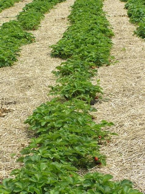 strawberry cultivars manitoba agriculture province
