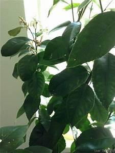 Zitronenbaum Gelbe Blätter : tropenland forum zitronenbaum gelbe bl tter sch dlinge ~ Lizthompson.info Haus und Dekorationen