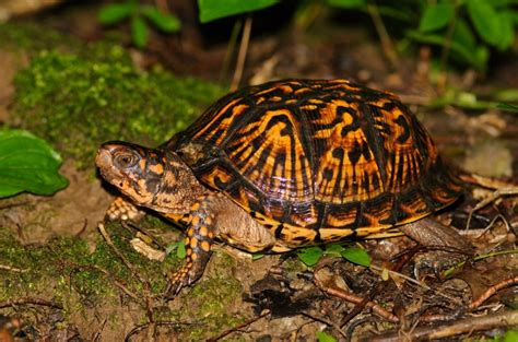 Heat Ls For Box Turtles by Ornate Box Turtle Facts Habitat Diet Adaptations