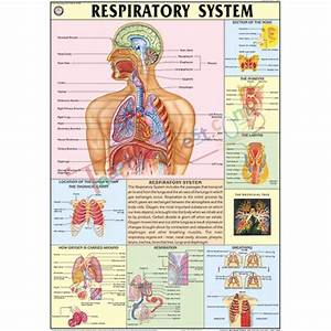 88 A Flow Chart Of The Respiratory System