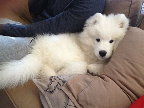 Samoyed Puppy Knows How To Relax Samoyed Dogs Samoyed