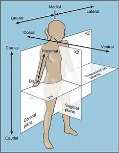 Image Result For Ventral And Dorsal Anatomical Position
