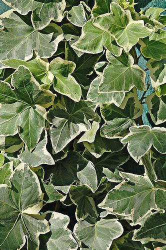 edera coltivazione in vaso edera consigli coltivazione e cura