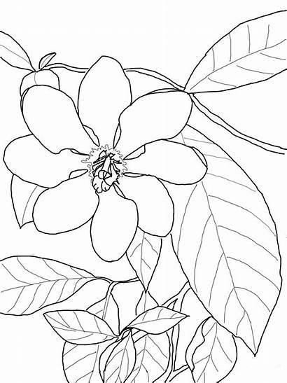 Gardenia Coloring Colorear Flower Dibujos Flor Colorare