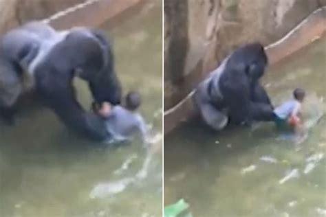 Western Lowland Gorilla Babies