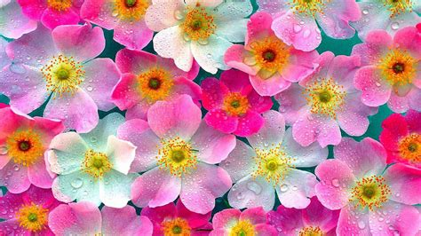 nature flowers wallpapers images  pictures backgrounds