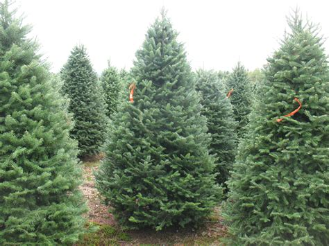 types of christmas trees and their advantages christmas tree photos balsam fir north pole xmas trees tel 603 930 1291 fax 603 888 4425