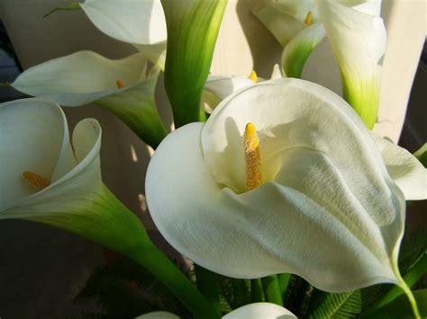 grow calla lily outdoor  tips  care