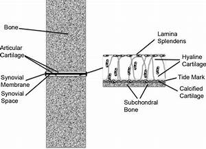 Diagram Of The Microstructure Of Articular Cartilage Found