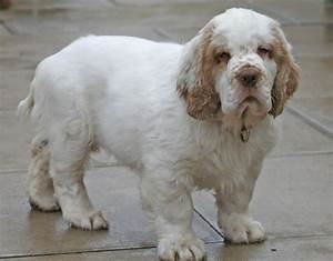 Clumber Spaniel - Dog Breed history and some interesting facts