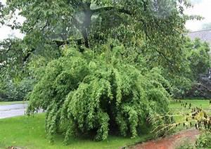 Sichtschutz Bambus Pflanze : winterharte bambus hecke gartenbambus winterhart gartens max gartenzaun sichtschutz pflanzen ~ Sanjose-hotels-ca.com Haus und Dekorationen
