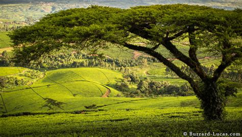 tea plantation malawi burrard lucas photography