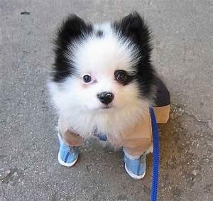 Pomeranian Black And White