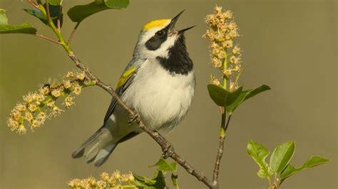 why songs try exotic bird calls as ringtones indileak