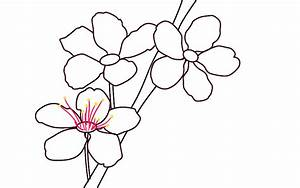 How To Draw Cherry Blossoms - Draw Central