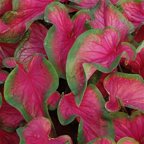 shabby apple cookeville tn caladium florida sweetheart 28 images caladium florida sweetheart barton s greenhouse and