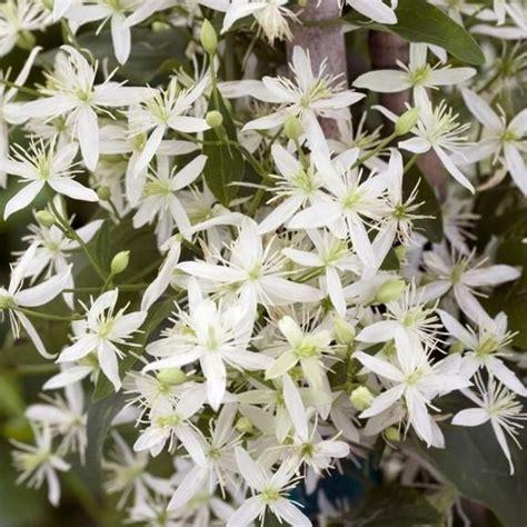 Clematis Paniculata Sweet Autumn  Clematis, Gardens And