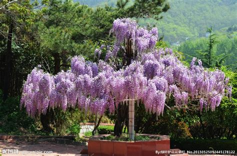 wisteria grown in pots flower pots planters 100 seeds bag creepers wisteria seeds crawling plants seeds bonsai plants