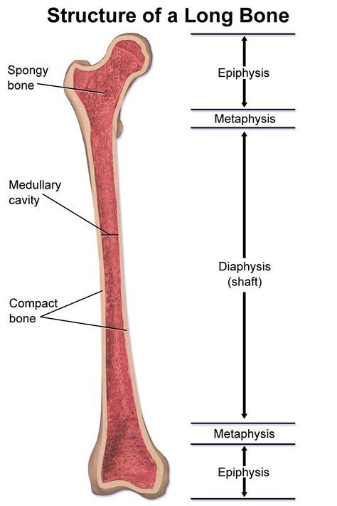 of bone anatomy of bone at calistoga high school studyblue