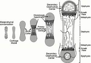 Skeletal Series A  The Biological Basis Of Bone And