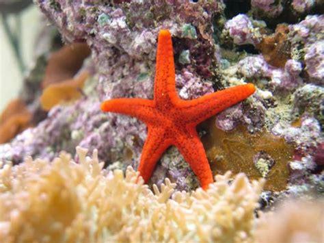 etoile de mer corail aquarium r 233 cifal aquarium marin aquarium eau de mer reefguardian