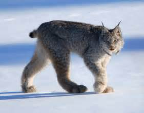lynx cat for animal galleries pictures of animals from around the