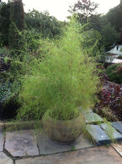 growing bamboo in containers best ornamental grasses for containers growing 4105