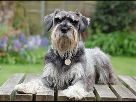 Schnauzer Shed by Dogs Top 3 Hypoallergenic Dogs Breeds Schnauzer