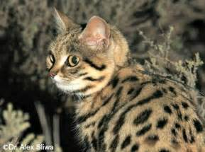 black footed cat black footed cat international society for endangered