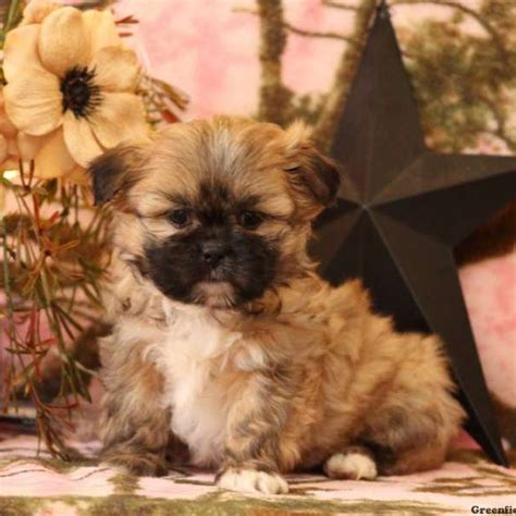 shih apso puppies for sale in de md ny nj philly dc and