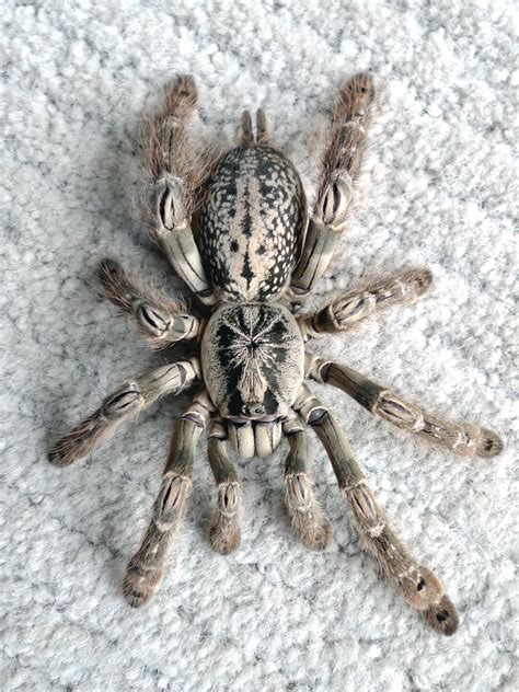 heteroscodra maculata female hmac tarantula flickr