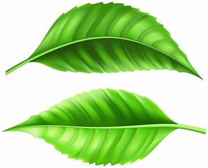 Fresh Leaves Clipart Yopriceville Transparent