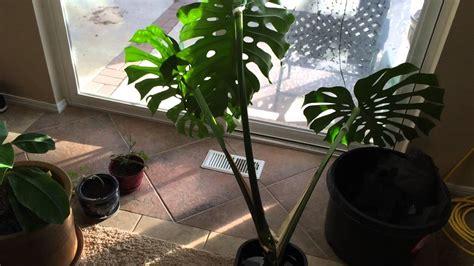 rooting  monstera deliciosa  faux split leaf