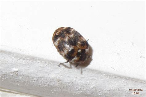 Exterminator » Carpet Beetles? Not Just For Carpets Carpet Cleaning Cartersville Ga Murrieta Ca Services Alexandria Va Redi Tucson Patcraft One Pawleys Island Wheeling Il Remove Dried Blood From