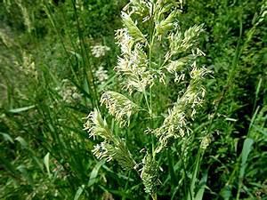 Reed Canary-grass | NatureSpot