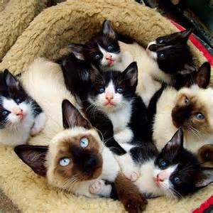 Siamese Tuxedo Cat